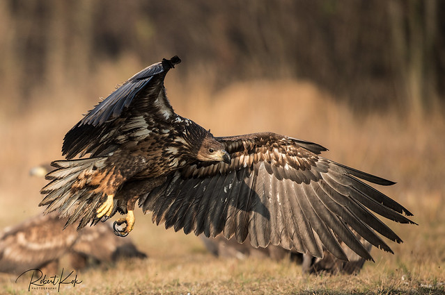 White-tailed Eagle!