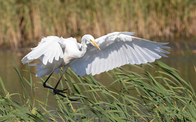 Great white egret incoming