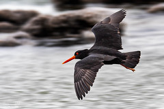 Pied Oyster Catchers, Puoto Point, Northlands, NZ