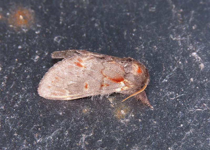 71.012 Iron Prominent - Notodonta dromedarius