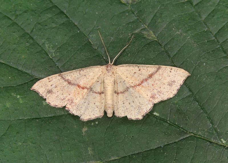 70.036 Maiden's Blush - Cyclophora punctaria