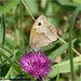 Meadow Brown-02918