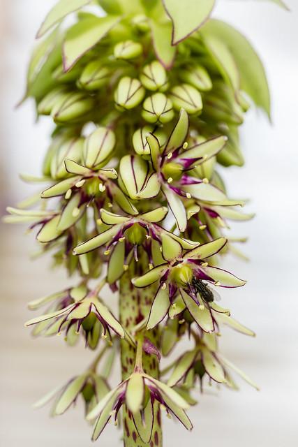 eucomis-pineapple lily