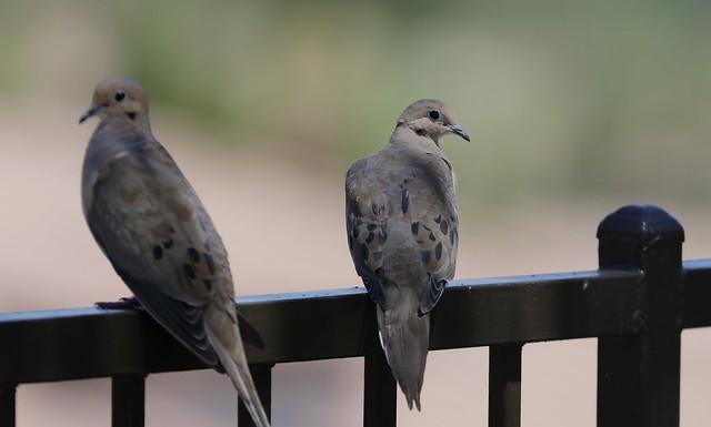 EOS 5D Mark IV1507  Pair of Mourning Doves in my backyard. Corona, California USA