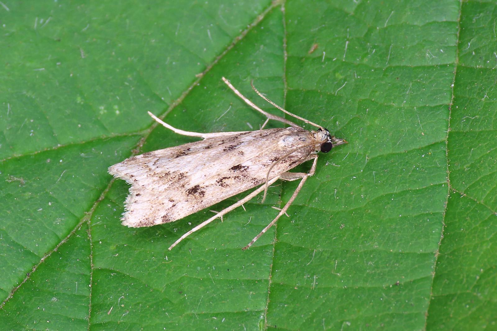 63.075 Marsh Grey - Eudonia pallida
