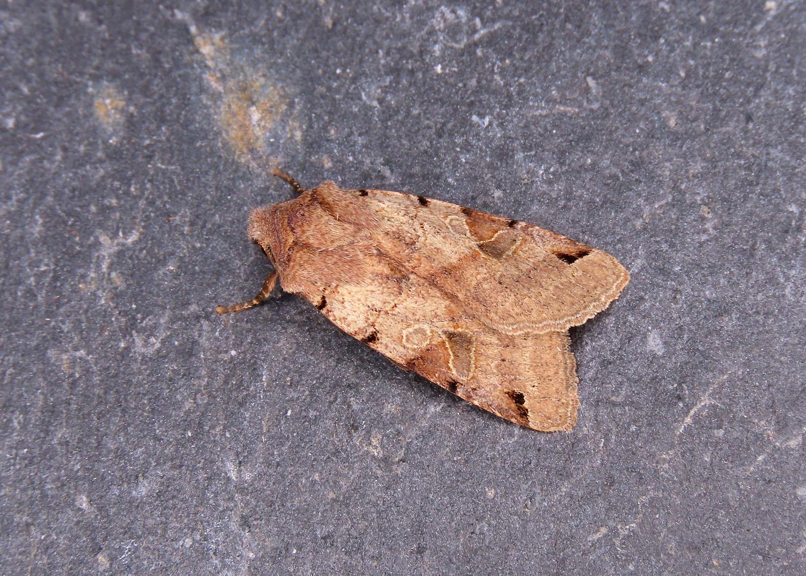 73.187 Brown-spot Pinion - Agrochola litura