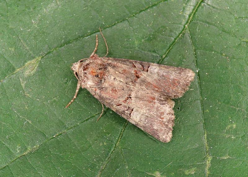 73.171 Rosy Minor - Litoligia literosa