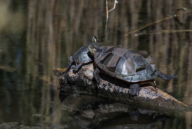 Tortue peinte/Painted turtle-_PM29799