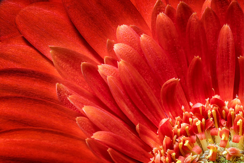 gerbera gerberadaisy petals detail macro texture clarity leadinglines tacksharp sharp 11 lifesize flower flora