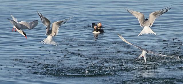 Kría - Lundi - Arctic Tern - Puffin