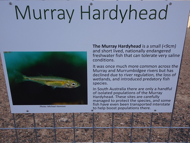Waikerie on the River Murray. Information board at the silo art location telling the story of the Murray Hardyhead fish depicted on one of the silos by Jimmy Dvate. .