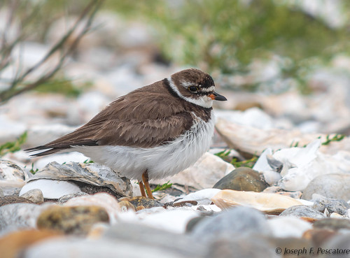 Semipalmated Plover (Charadrius semipalmatus) - Milford Point, Milford, Connecticut, USA