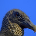 Vulture close up posted by mark owens2009 to Flickr