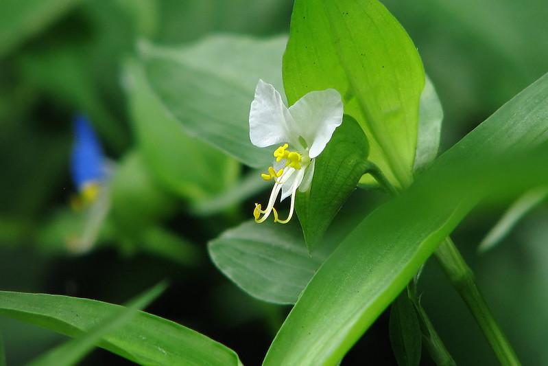 Commelina communis L. f. albiflora  シロバナツユクサ