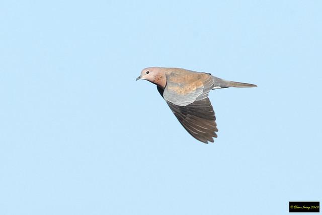 Laughing Dove (Spilopelia senegalensis senegalensis)