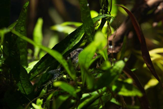 Hidden Corydoras habrosus