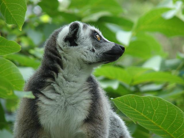 lemur pepa (EXPLORE)