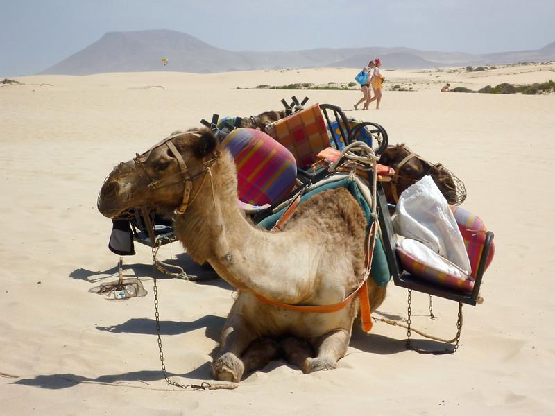 Camel rides in Parque Natural de Corralejo