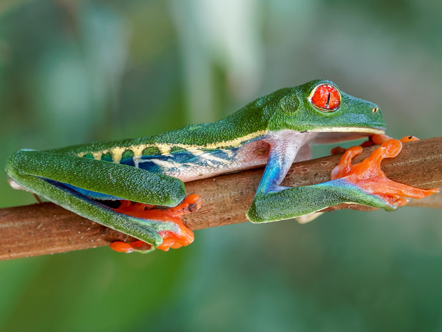 Rainette aux yeux rouges** Gaudy Leaf Frog** Costa Rica