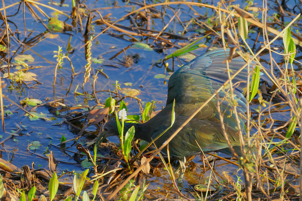 Green Ibis (Mesembrinibis cayennensis) foraging with one wing open to create a shadow ...