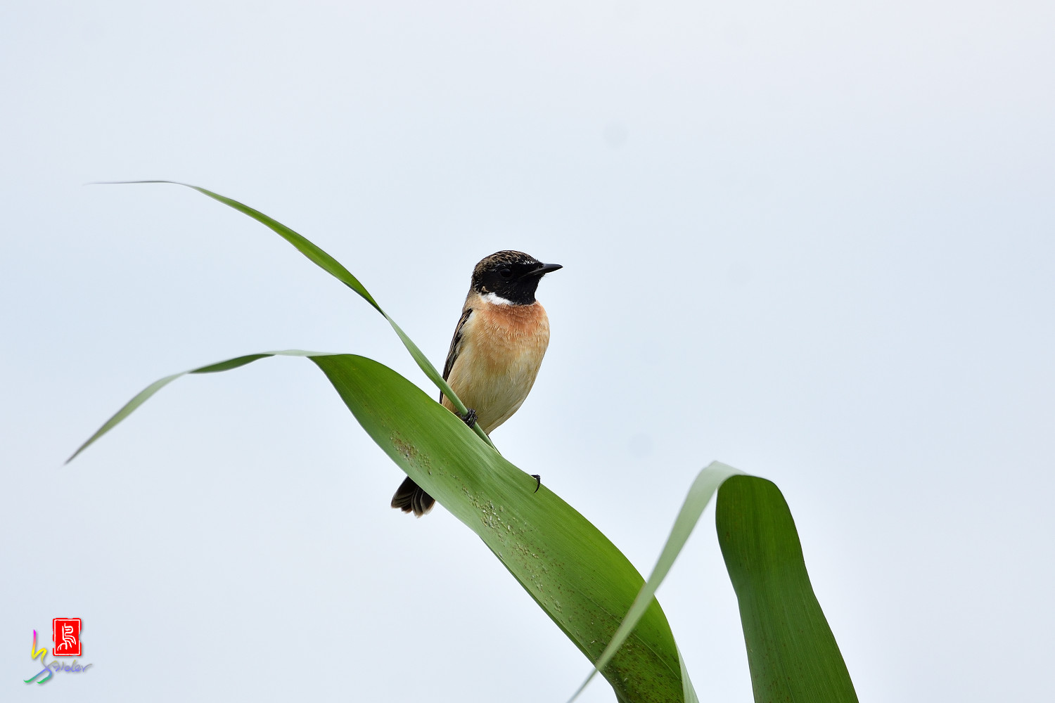 Common_Stonechat_5325