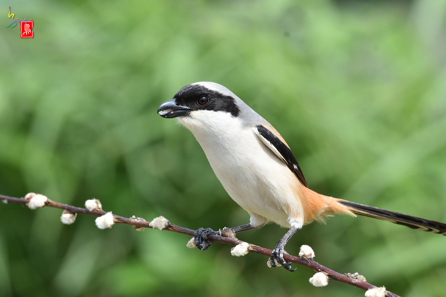 Long-tailed_Shrike_5634