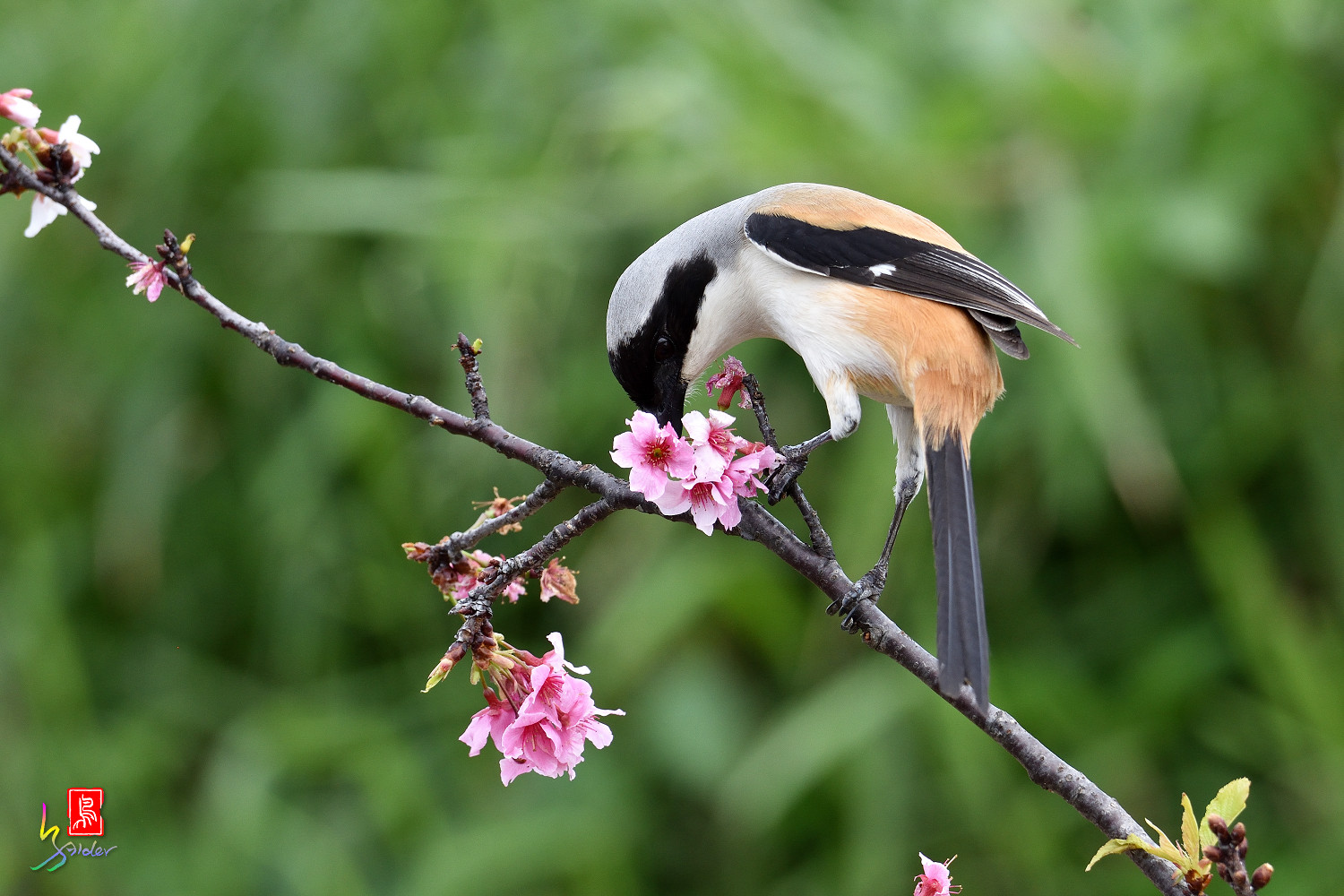 Long-tailed_Shrike_5536