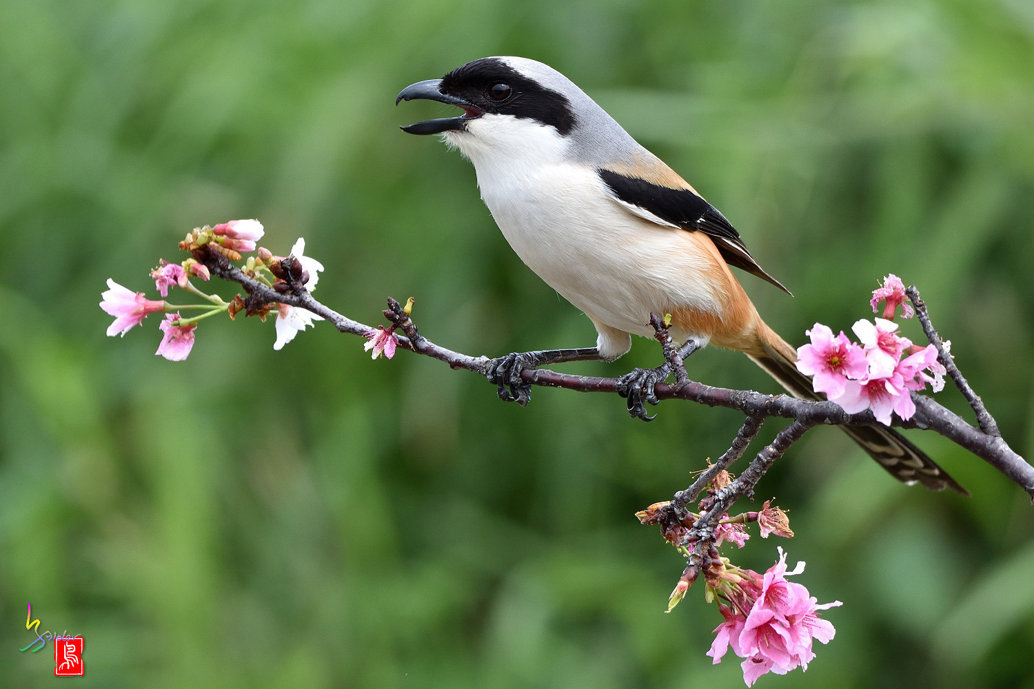 Long-tailed_Shrike_5433