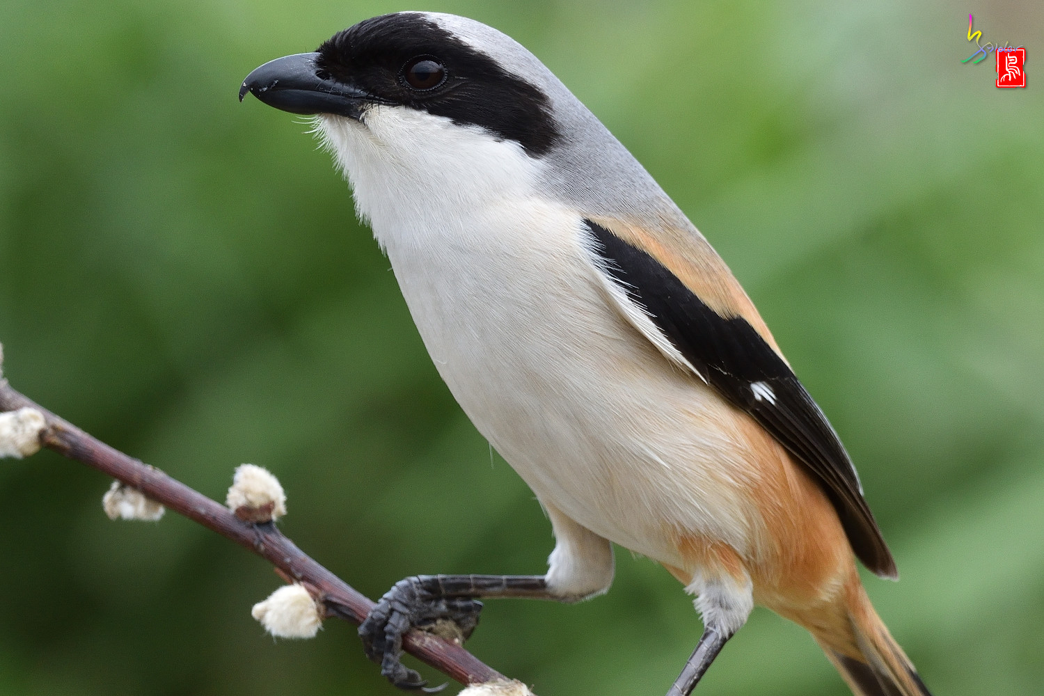 Long-tailed_Shrike_5472