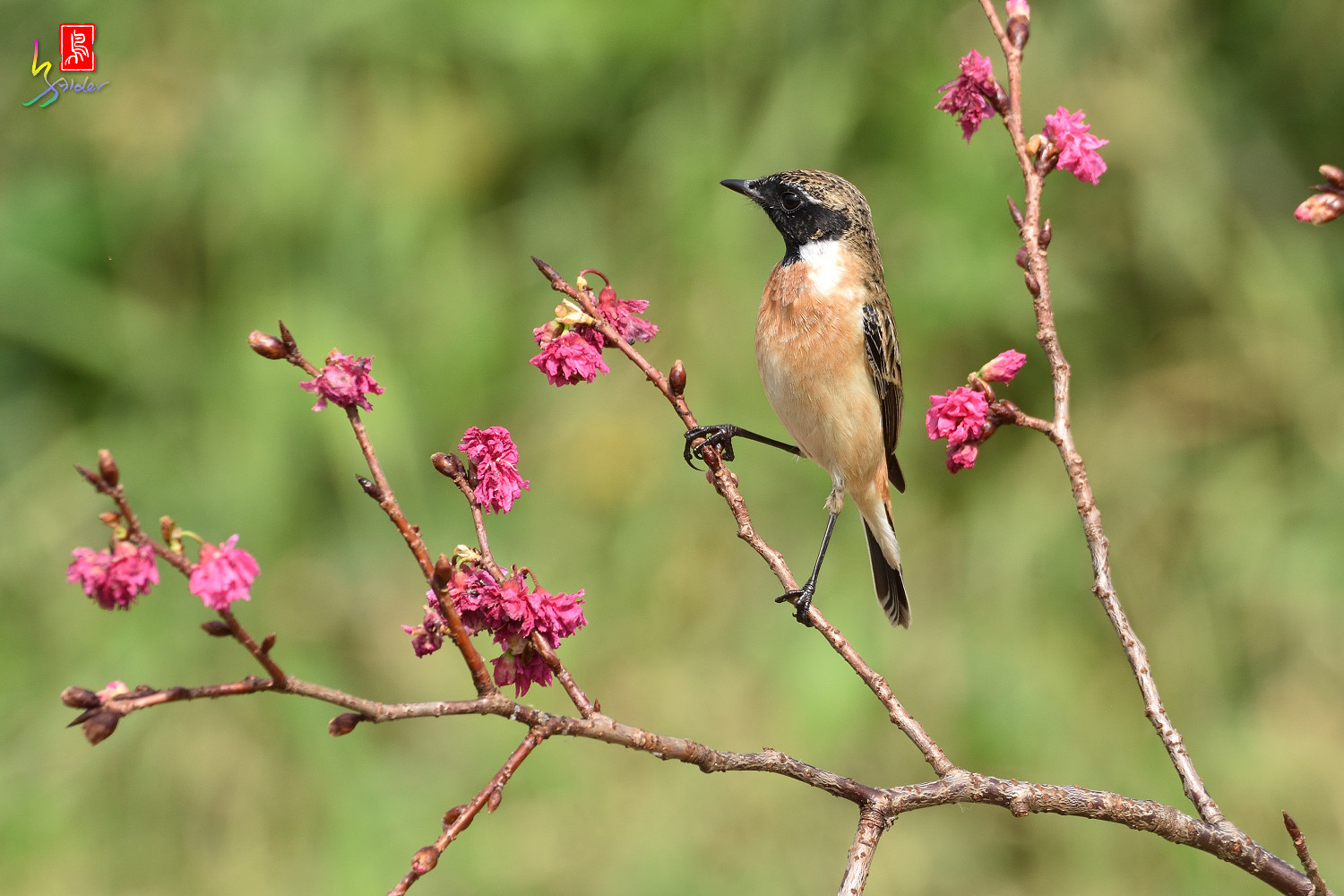 Common_Stonechat_5751