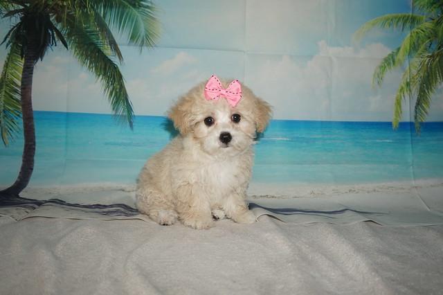 maltipoo breeder fl – TLC Puppy Love
