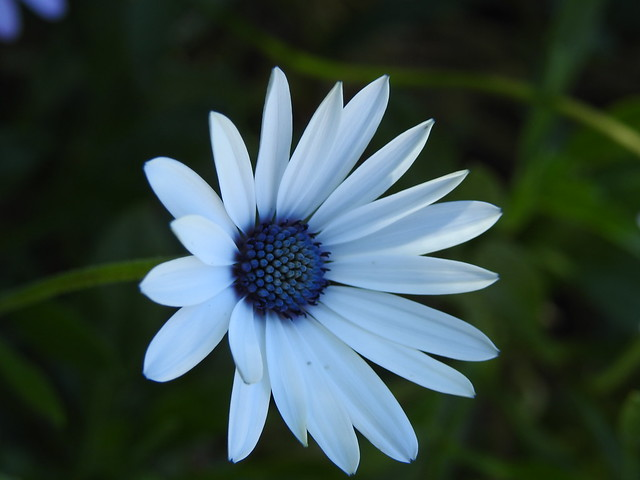 White and Blue Daisy