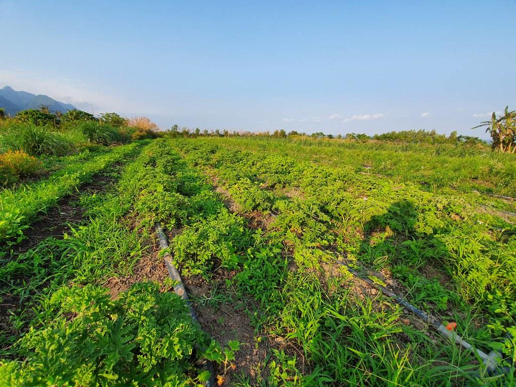 芙彤園的契作香草園不施加化學除草劑,友善耕作與雜草共生。Blueseeds芙彤園提供