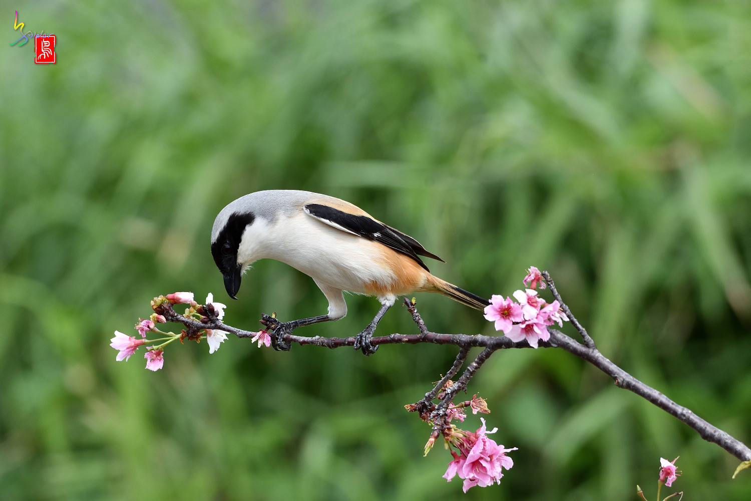 Long-tailed_Shrike_5601