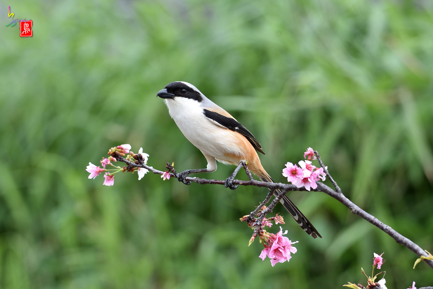 Long-tailed_Shrike_5436