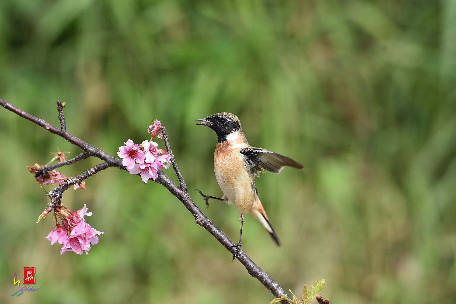Common_Stonechat_5783