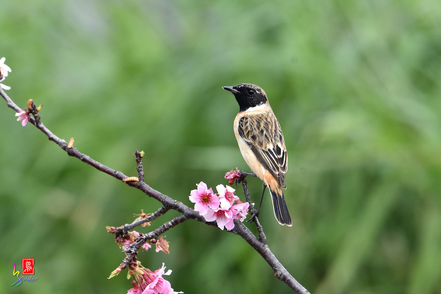 Common_Stonechat_5349