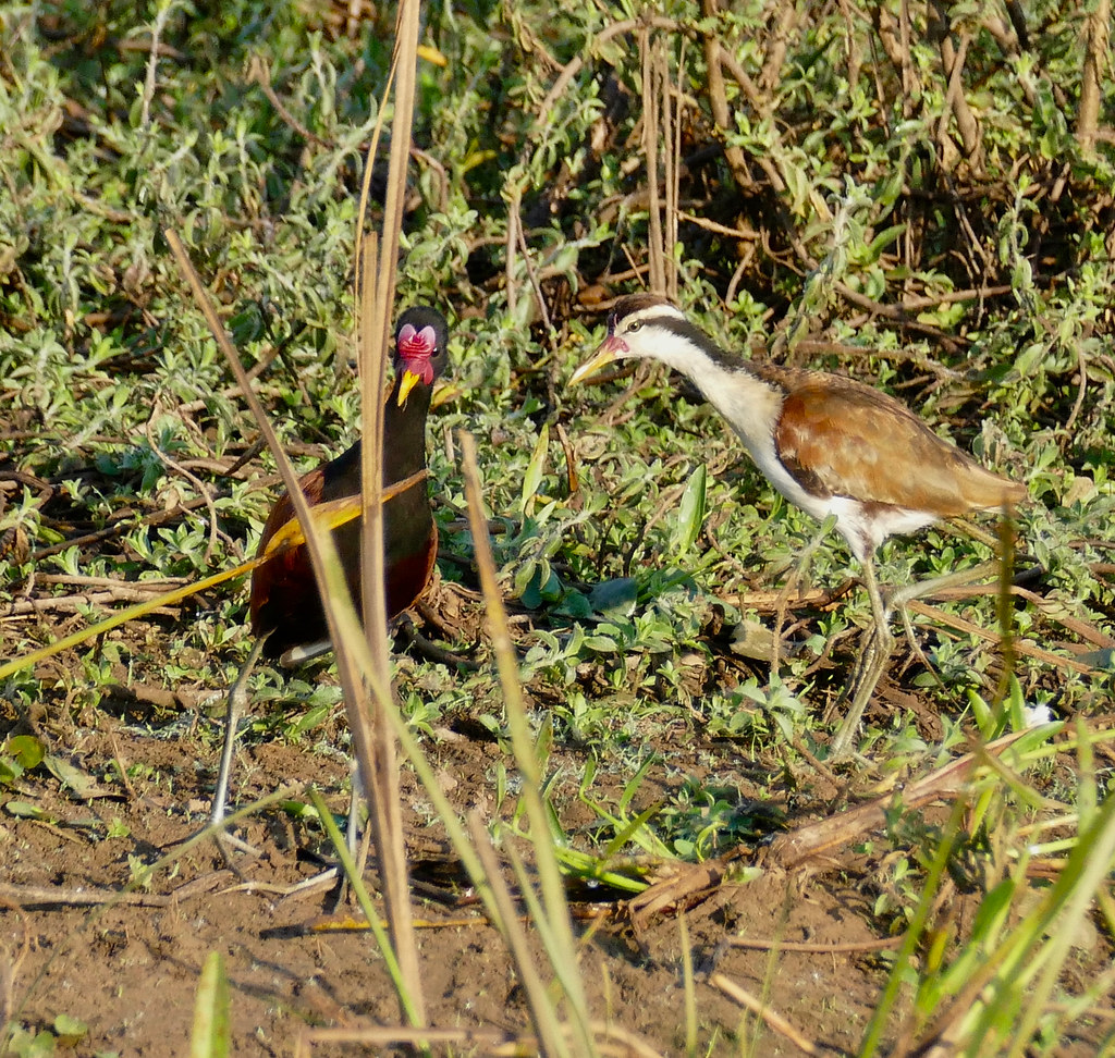 Wattled Jacanas (Jacana jacana) adult and immature ...