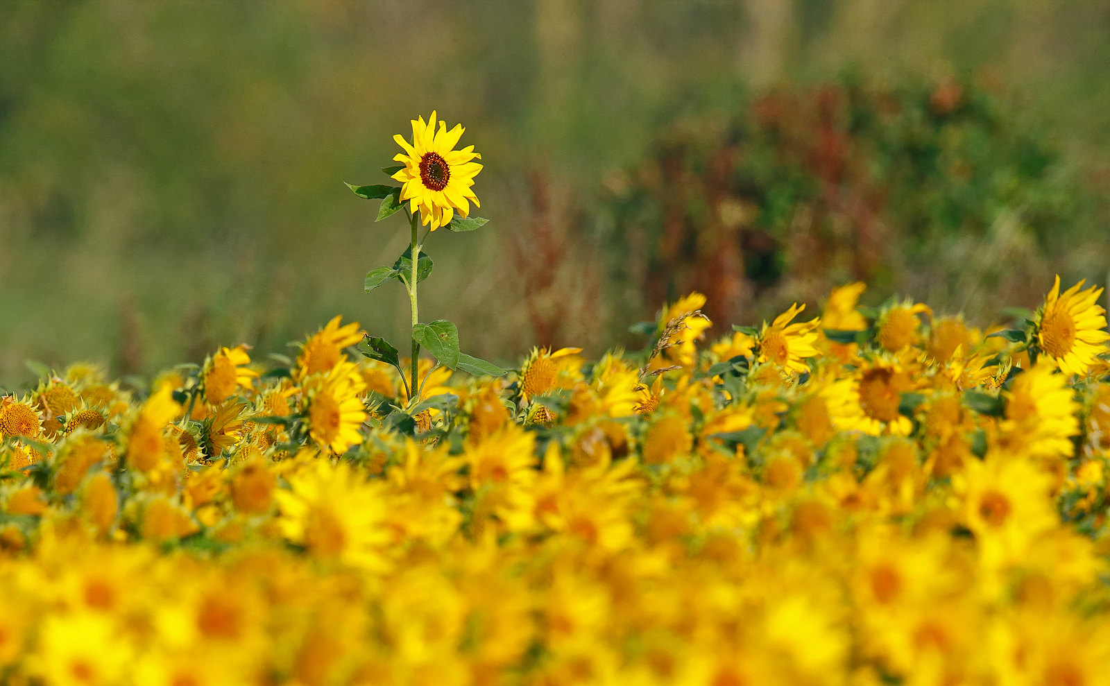 Sun Flowers - I can see the Dowitcher!