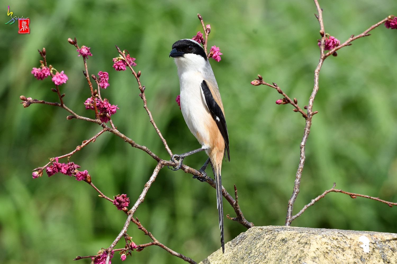 Long-tailed_Shrike_5710
