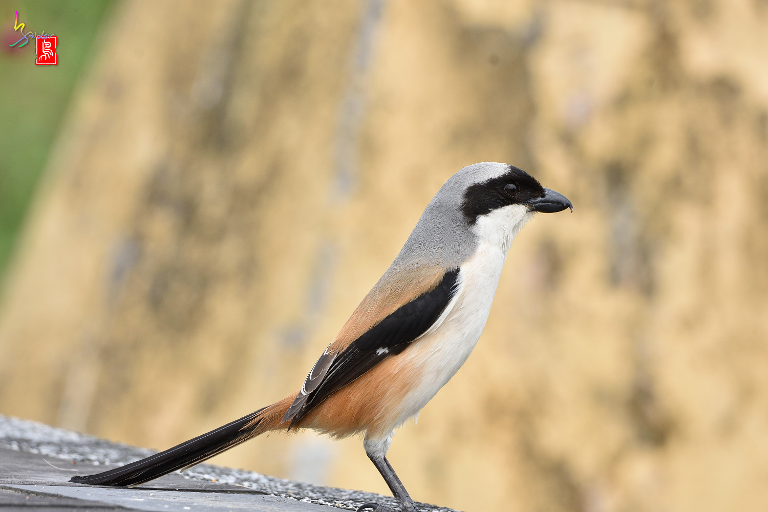 Long-tailed_Shrike_5583