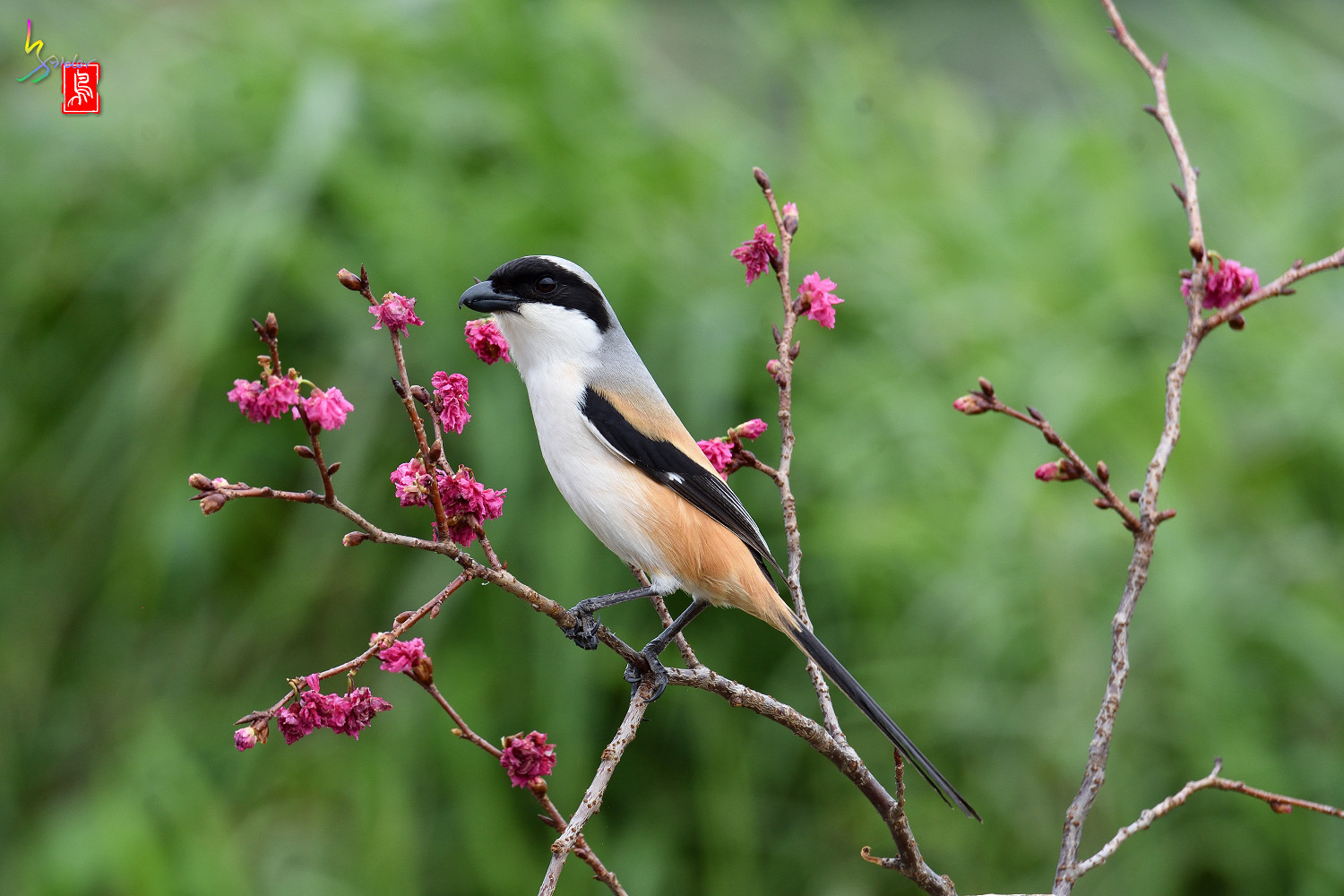 Long-tailed_Shrike_5559