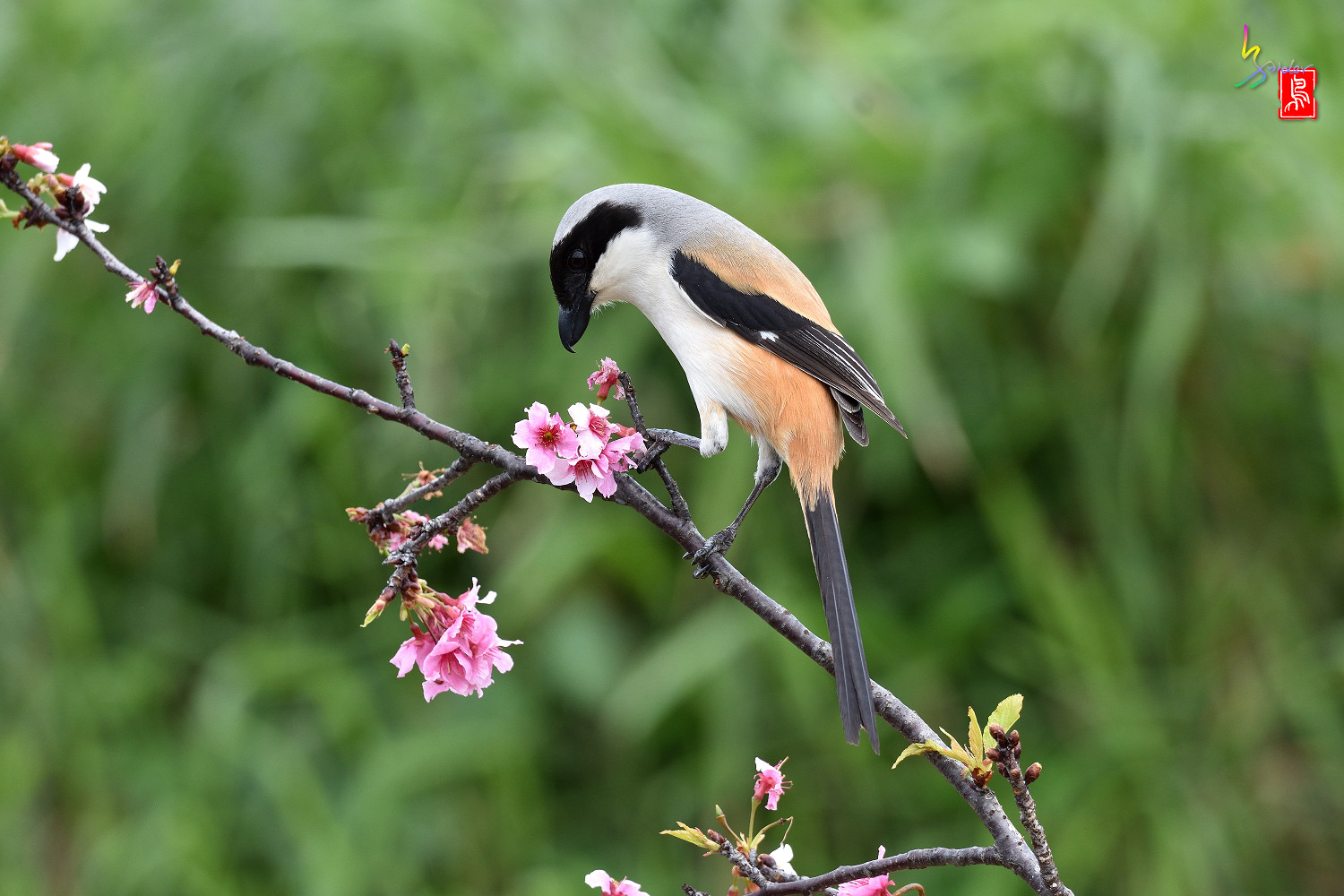 Long-tailed_Shrike_5533