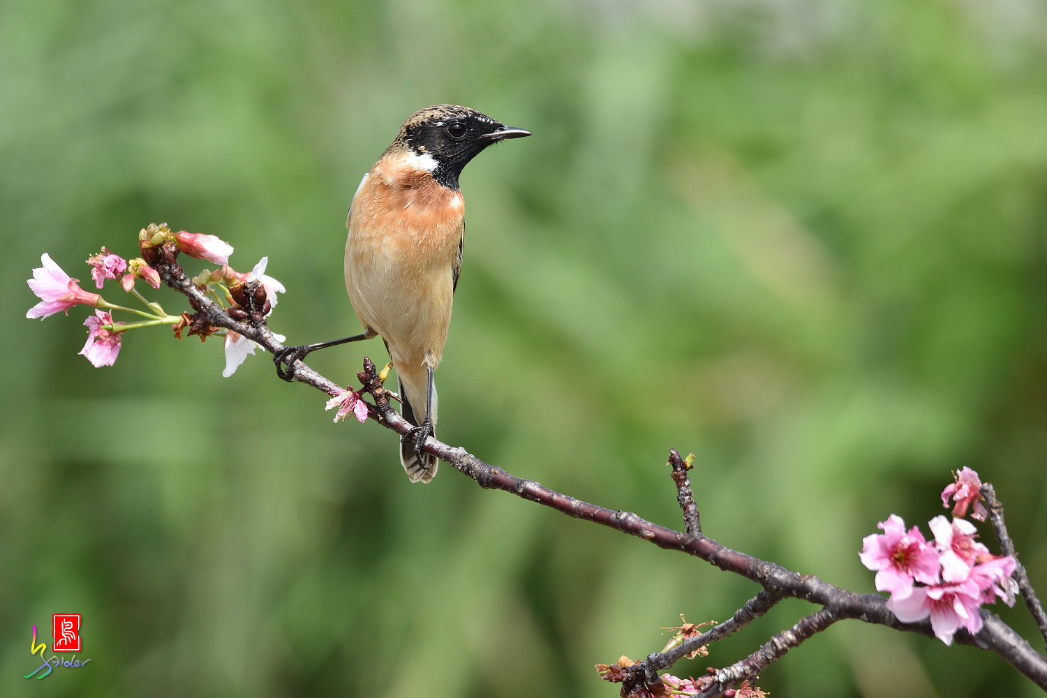 Common_Stonechat_5837