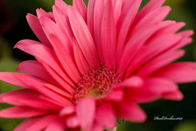 Hot Pink Gerber Daisy
