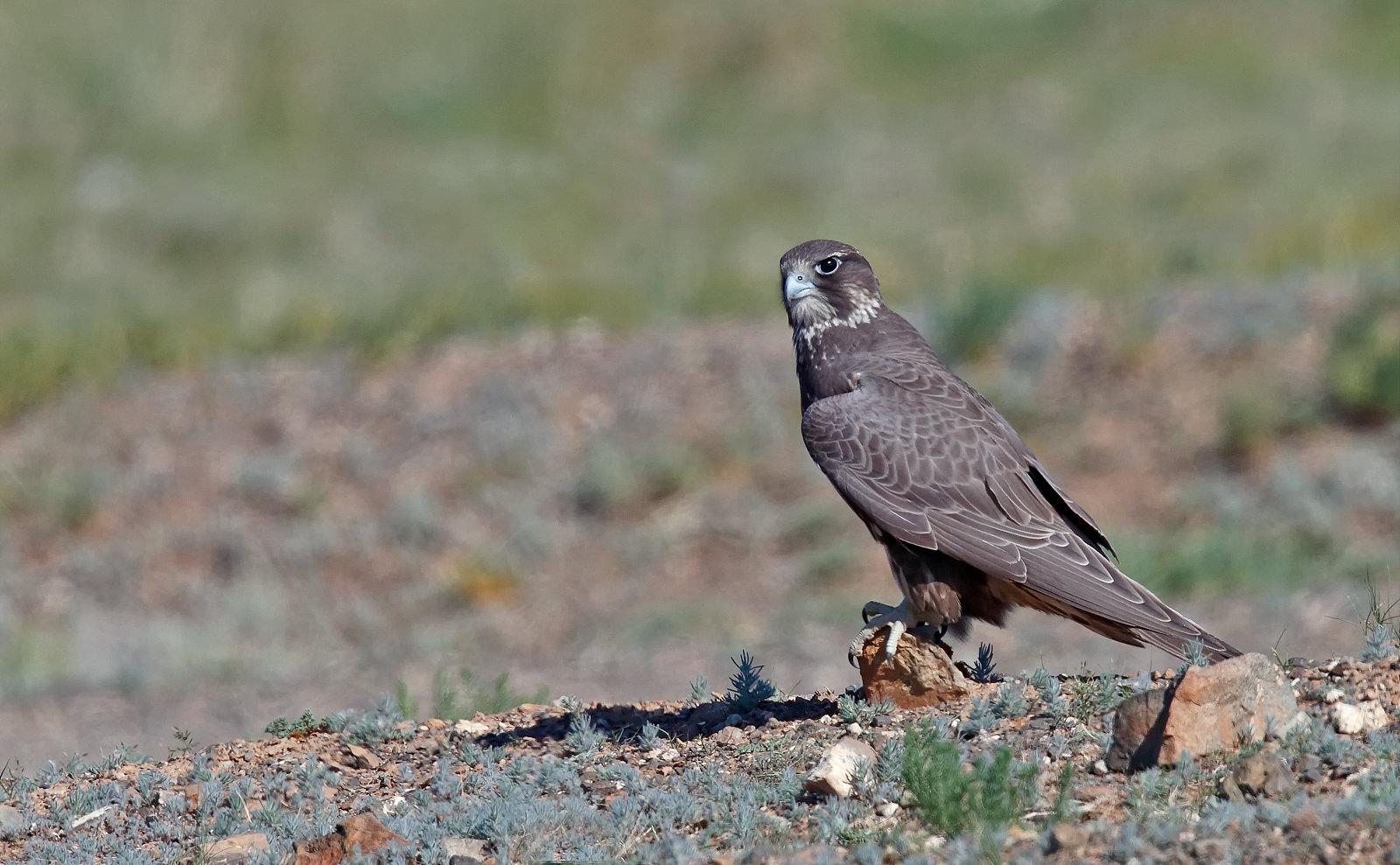 Dark Morph Saker Falcon