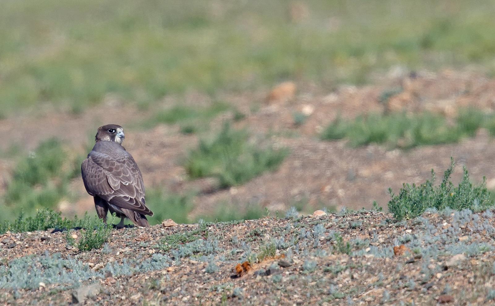 Dark Morph Saker Falcon - bird 2