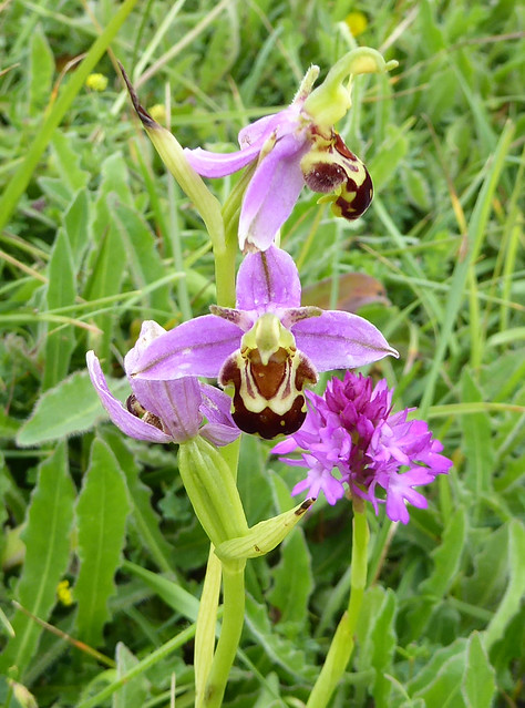 Bee orchid and pyramidal orchid on Goat Island
