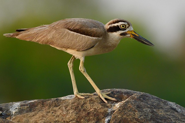 endangered Great Thick-knee