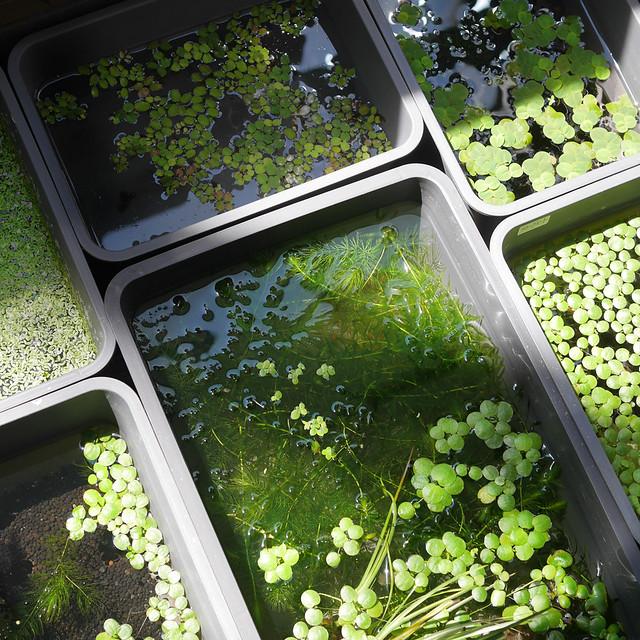 ビオトープの作り方 睡蓮鉢 水生植物 メダカ 浮草
